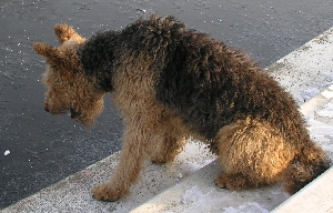 neugieriger Airedale-Terrier